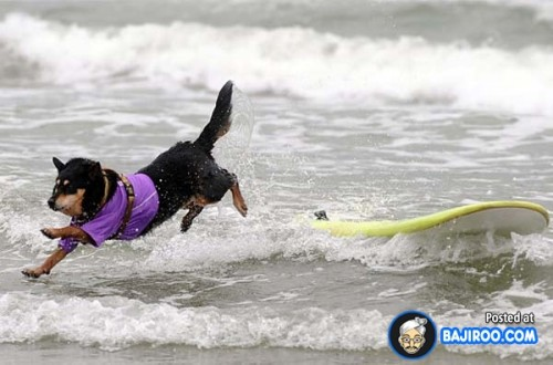 funny-dogs-surfing-on-wave-water-sea-pics-images-14