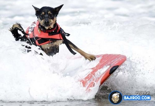 funny-dogs-surfing-on-wave-water-sea-pics-images-16