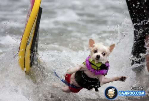 funny-dogs-surfing-on-wave-water-sea-pics-images-17