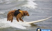 funny-dogs-surfing-on-wave-water-sea-pics-images-18