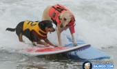 funny-dogs-surfing-on-wave-water-sea-pics-images-2