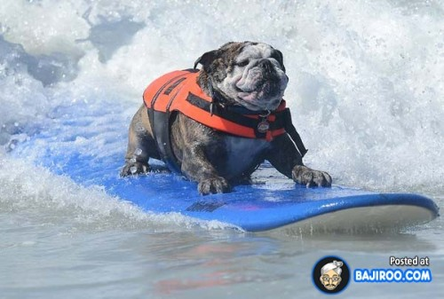 funny-dogs-surfing-on-wave-water-sea-pics-images-21