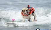 funny-dogs-surfing-on-wave-water-sea-pics-images-22
