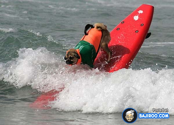 funny-dogs-surfing-on-wave-water-sea-pics-images-23