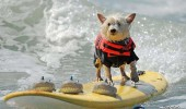 funny-dogs-surfing-on-wave-water-sea-pics-images-24