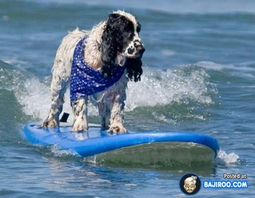 funny-dogs-surfing-on-wave-water-sea-pics-images-26