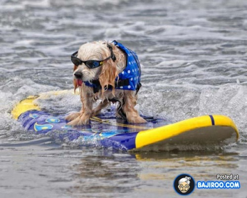 funny-dogs-surfing-on-wave-water-sea-pics-images-27