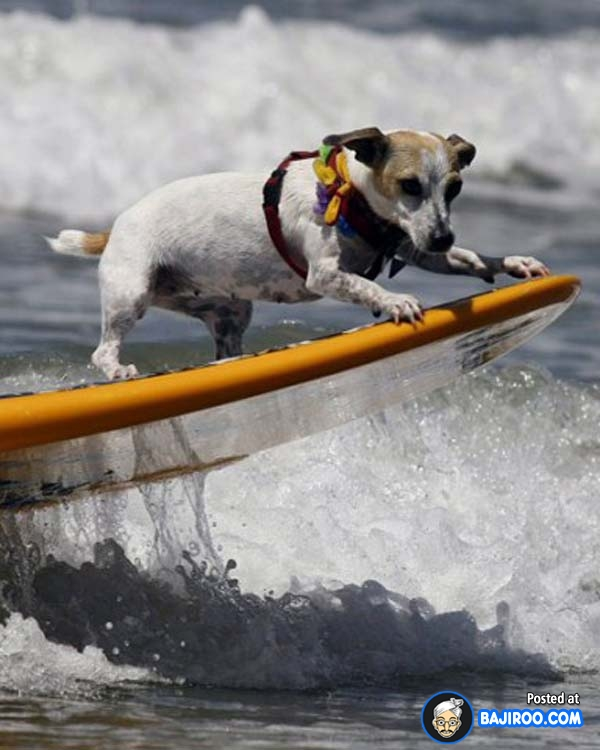 funny-dogs-surfing-on-wave-water-sea-pics-images-28