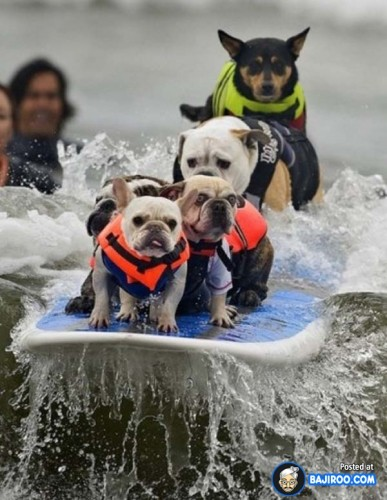 funny-dogs-surfing-on-wave-water-sea-pics-images