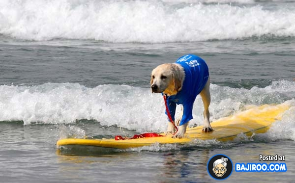 funny-dogs-surfing-on-wave-water-sea-pics-images-4