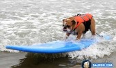 funny-dogs-surfing-on-wave-water-sea-pics-images-7