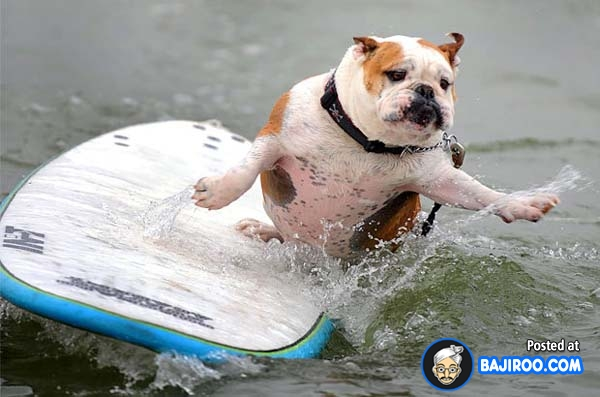 funny-dogs-surfing-on-wave-water-sea-pics-images-9