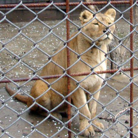 ŞOCANT. La Grădina Zoologică din Craiova s-a mai descoperit un pui de leu viu, NEDECLARAT