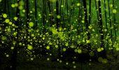 Padurea Fermecata. Mii de licurici danseaza si creeaza o stralucire magica | GALERIE FOTO