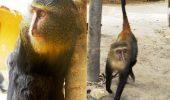 Cea mai nouă şi şocantă descoperire! Maimuţa cu ochi de om | GALERIE FOTO