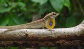 O şopârlă de acum 23 de milioane de ani a fost găsită conservată în chihlimbar