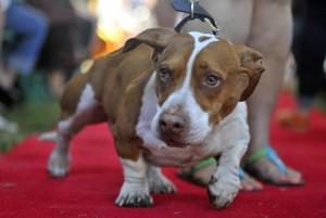 2013-worlds-ugliest-dog-walle