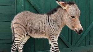 Ipoo, animalul născut dintr-o zebră și un măgar