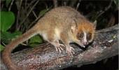 Soarecele_Lemur_Pigmeu