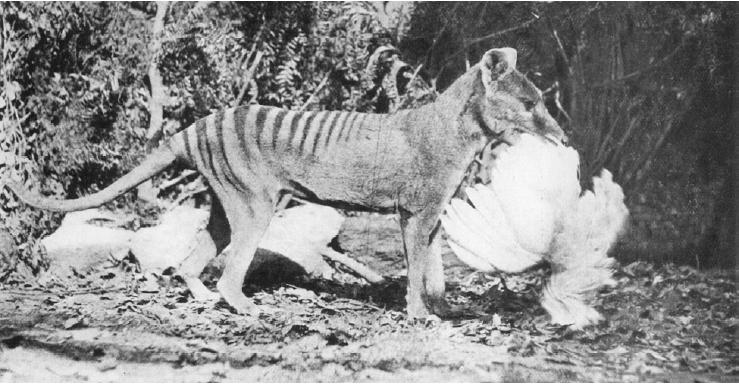 Thylacine-chicken