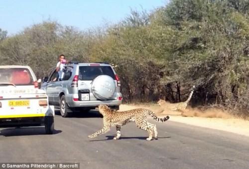Cum a scăpat o antilopă de atacul unor gheparzi | IMAGINI ŞI VIDEO INCREDIBIL