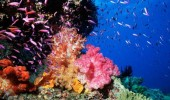 Australia, Great Barrier Reef, Pixie Pinnacle With Colorful Soft Coral And Anthias (Dendronephthya Species) Coral Sea