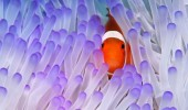 Western Clownfish (Amphiprion ocellaris) in Magnificent Sea Anemone (Heteractis magnifica), Great Barrier Reef