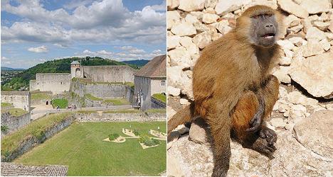 Grădina zoologică din Besancon renunţă la babuinii care vandalizează un monument clasificat UNESCO