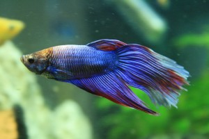 betta-fish-rights-h080-Flickr