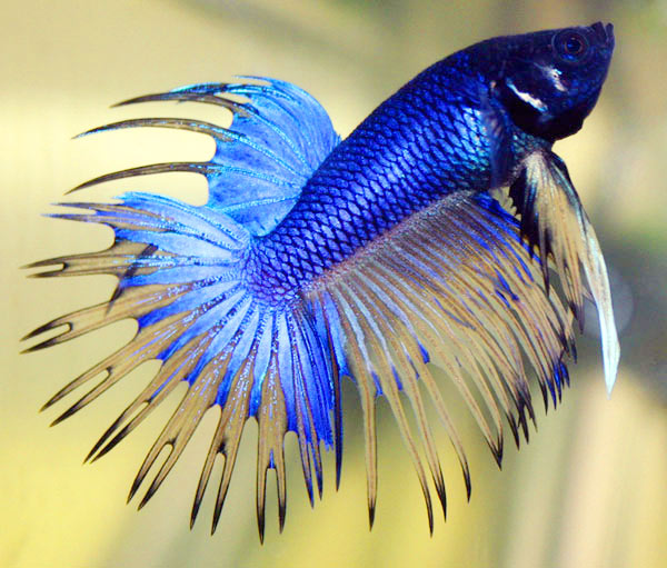 betta_fish