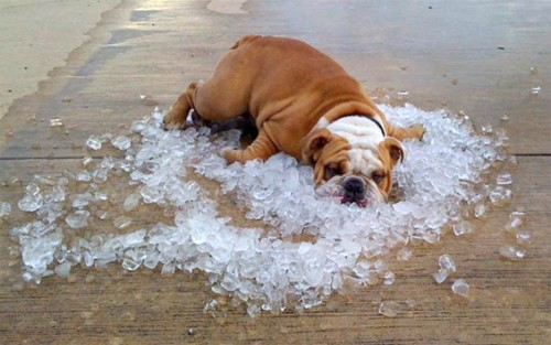 bulldog-on-ice