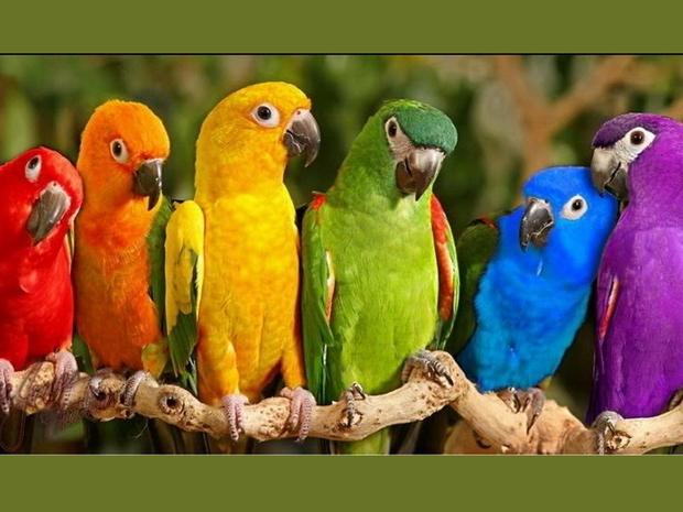curcubeu-de-papagali_523ab3cbf12c42