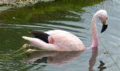 O pasăre flamingo și-a schimbat comportamentul din cauza căldurii