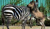 UIMITOR! Ipoo, animalul născut dintr-o zebră și un măgar