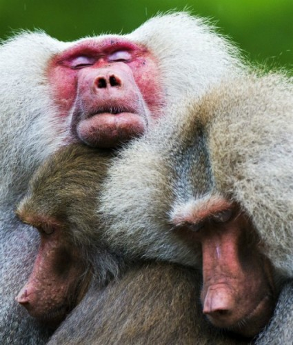Comportament bizar al babuinilor de la o grădina zoologică din Olanda