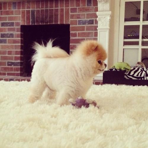 Boo, alt câine care a isterizat internetul