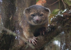 2-photo-of-Olinguito-630x451