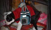 Marele Mick: Un căţel paralizat învaţă să meargă şi să înoate pentru prima oară