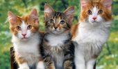Un șobolan bagă spaima în pisici. VIDEO