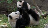 La grădina zoologică din Viena s-a născut al treilea urs panda