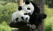 Doi urşi panda vor avea petrecere de ziua lor de naştere