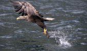 Cea mai mare pasăre răpitoare din Europa, salvată după ce se electrocutase