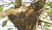 Albinele africanizate, ucigaşii perfecţi care terorizează America
