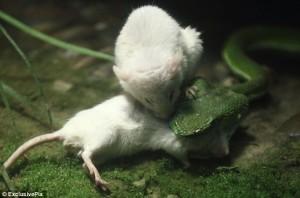 POZE ŞOCANTE. Un şoarece încearcă să-şi scape prietenul din gura unui şarpe