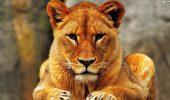 A murit leoaica de la Grădina Zoologică din Craiova. VIDEO