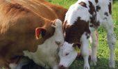 Caz extrem de rar. O vacă a fătat tripleți