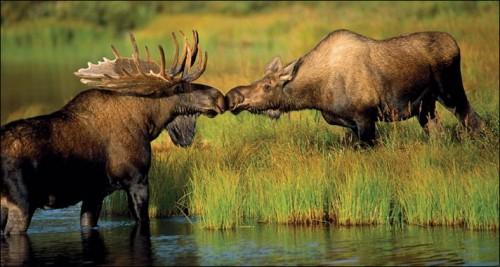 Cinci elani beți au amenințat un suedez