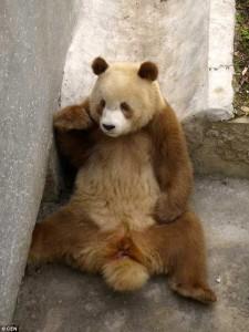 RARITATE. Un urs panda are culoarea maro