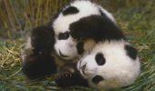 Chinezii au un post care transmite non-stop imagini cu urși panda