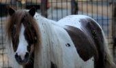Un ponei s-a îmbolnăvit din cauza pufuleților